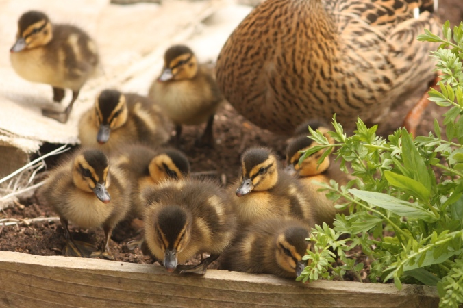 Chicks taking a brief look in my vegetable garden.