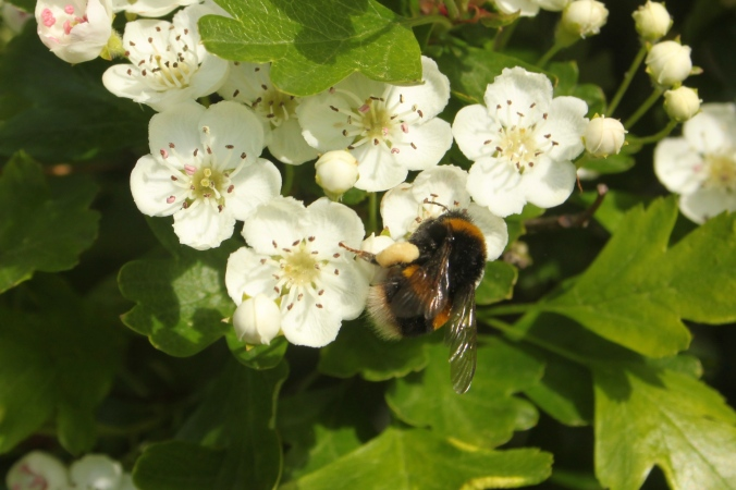 Buff-tailed Bumblebee Bombus terrestris and Hawthorn flower