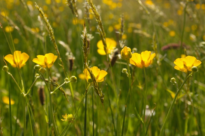 Meadow Buttercups and Grasses