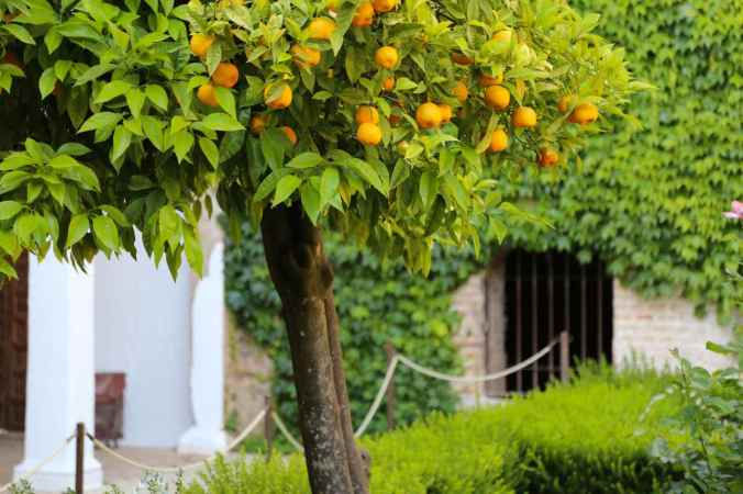 Orange Tree in the Patio of the Cypresses