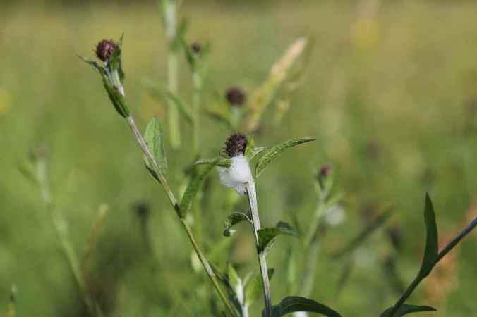 Cuckoo Spit on Black Knapweed