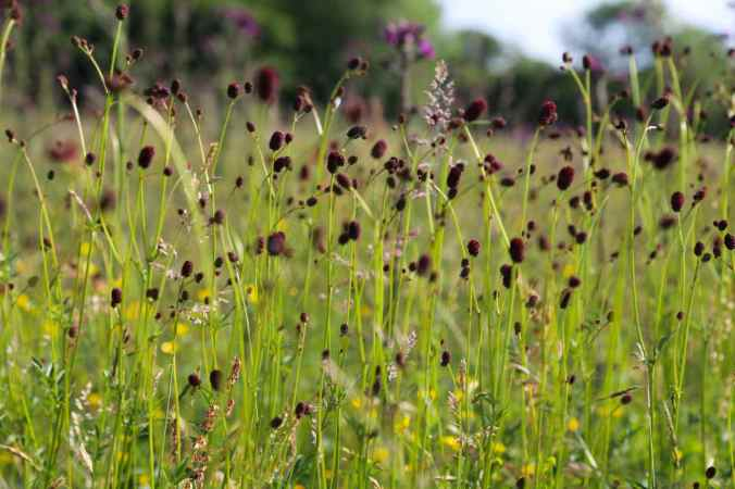 Great Burnet Sanguisorba officinalis
