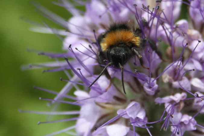 Phacelia and Bee