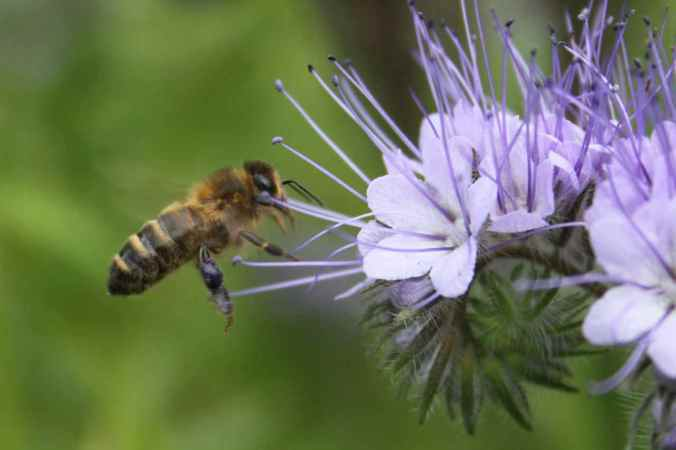 Phacelia and Honey Bee