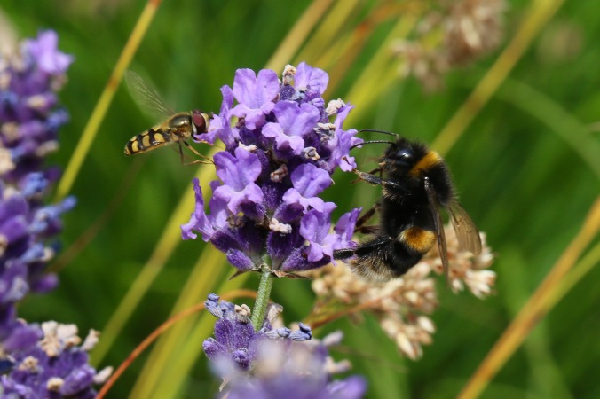 Hoverfly and Bumblee Bee on Lavender