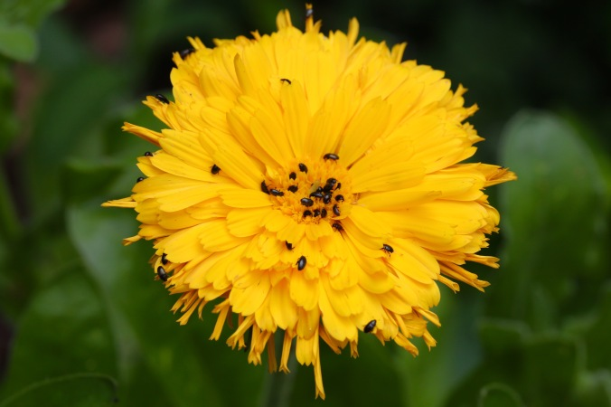 Pollen Beetles on Calendula