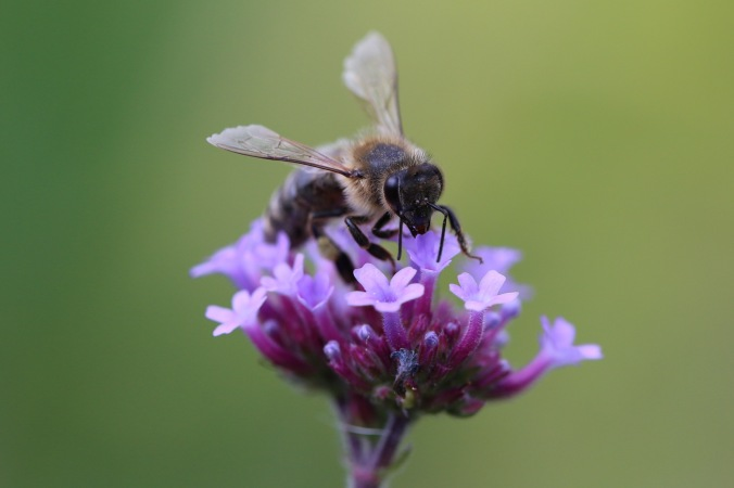 Verbena bonarensis and Honey Bee