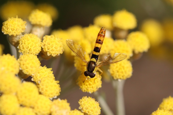 Hoverfly on Curry Plant