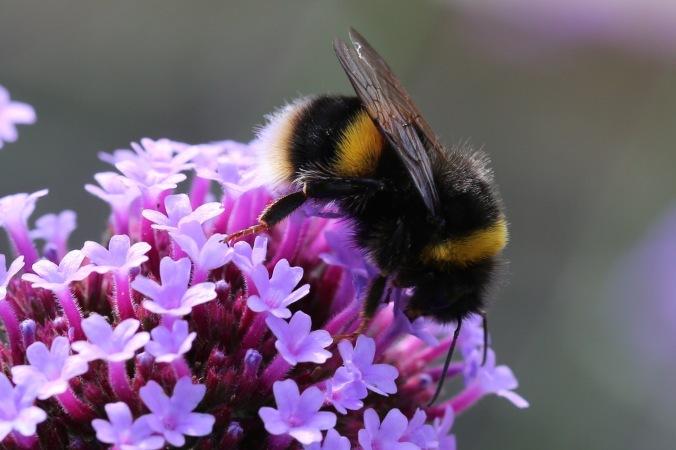 Bumblebee on Verbena bonarensis