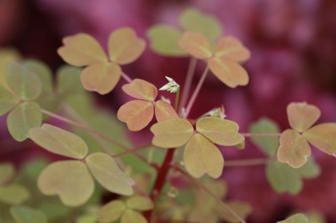 Unnamed Oxalis