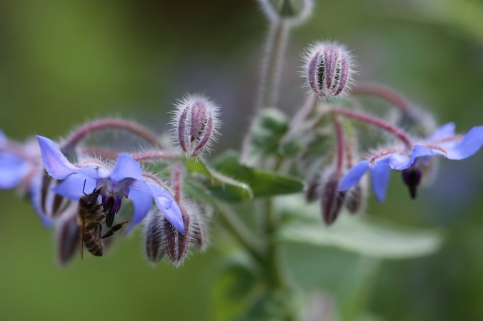 Borago officinalis and Honey Bee