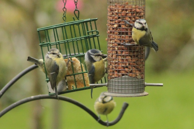 Family of Blue Tits on feeders