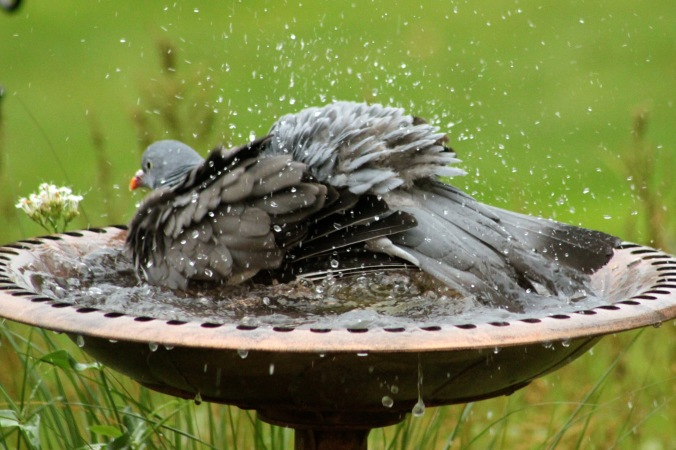Pigeon having a thoroughly good wash