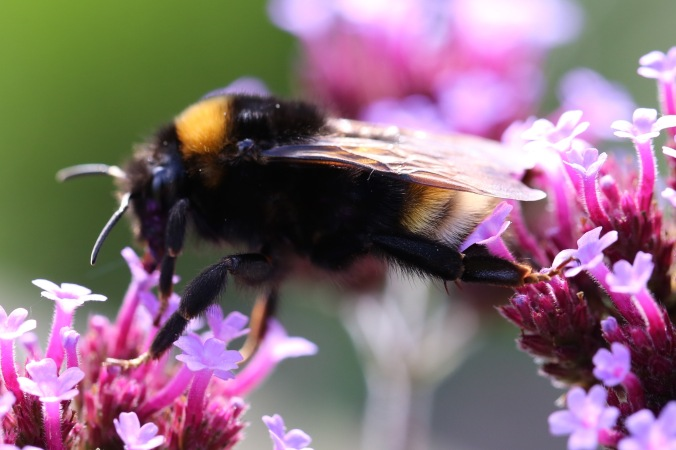 Southern Cuckoo bumblebee walking with hairy legs