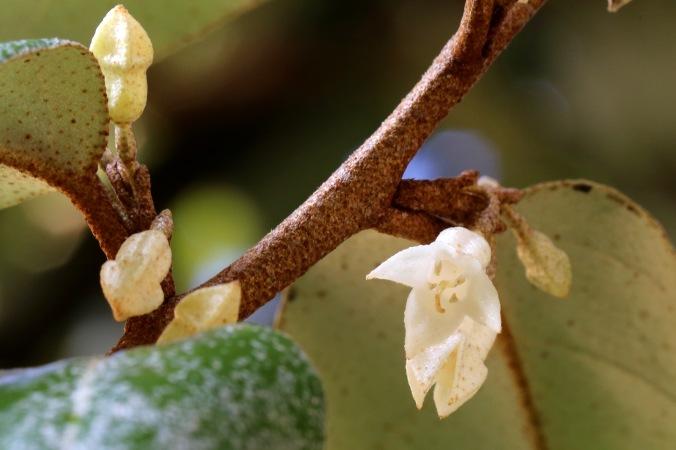 Eleagnus ebbingei vanilla scented flowers