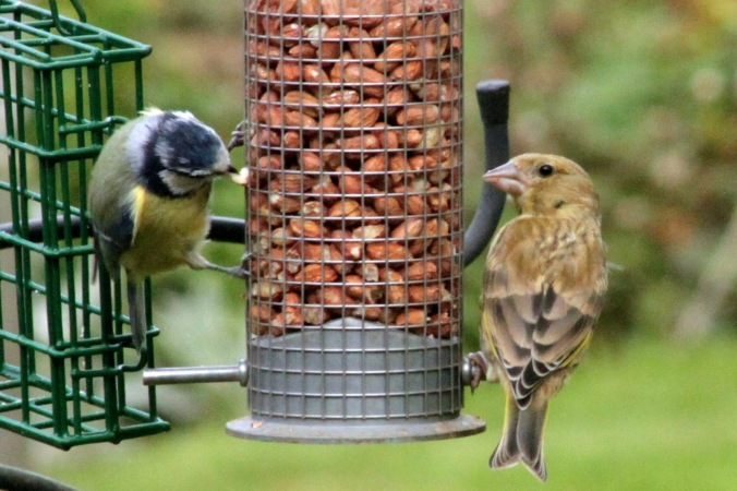 Female Greenfich and Blue Tit