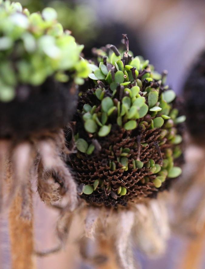 Rudbeckia hirta 'Autumn Shades' Seedhead