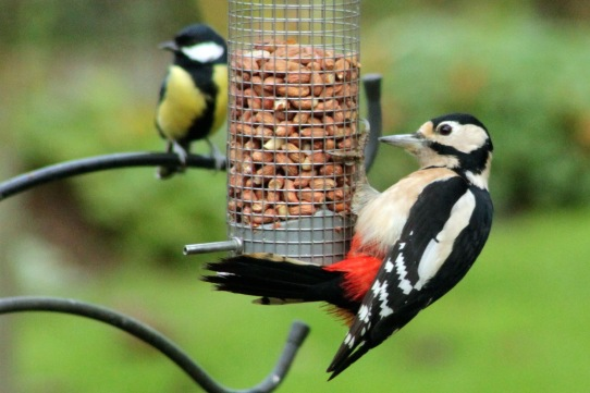 Image result for great spotted woodpecker