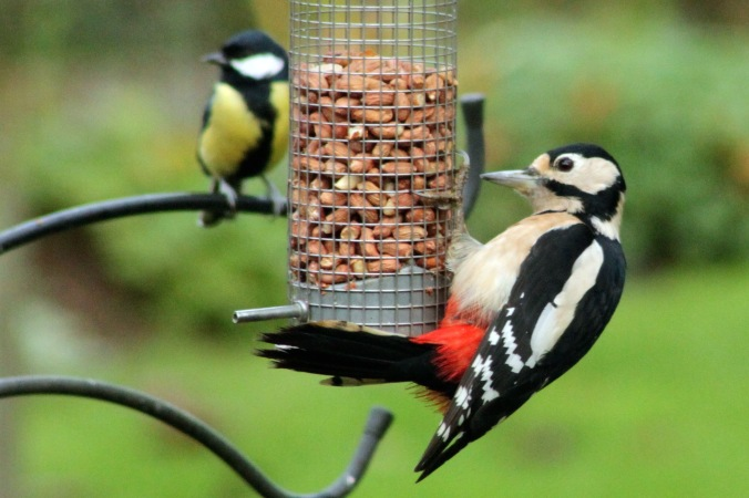 Female Great Spotted Woodpecker and Male Great Tit