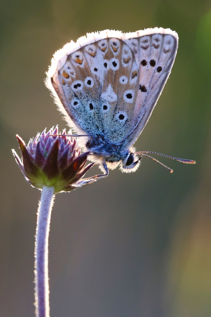 Roosting Male Chalk Hill Blue
