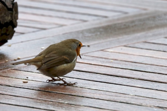 An angry Robin