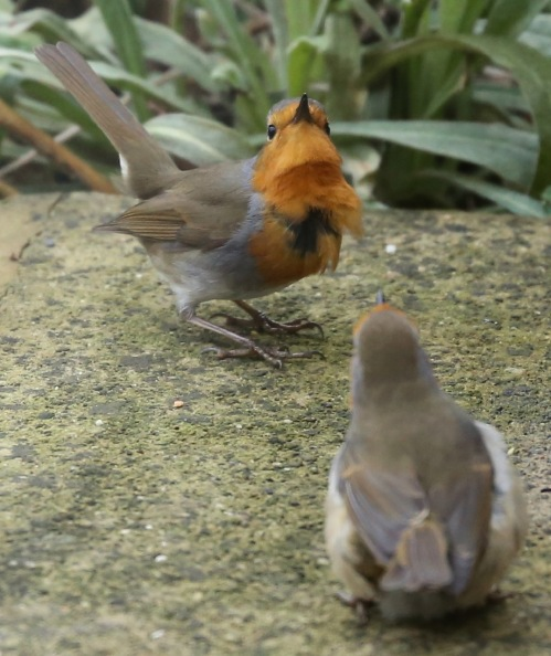Robins maybe partial threat?
