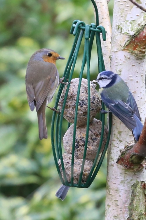 Robin Feeding alongside the Bluetits
