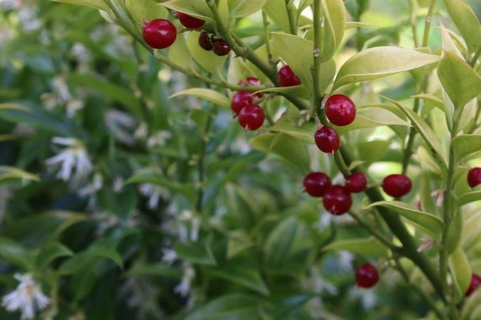 Sarcoccoca ruscifolia var chinensis