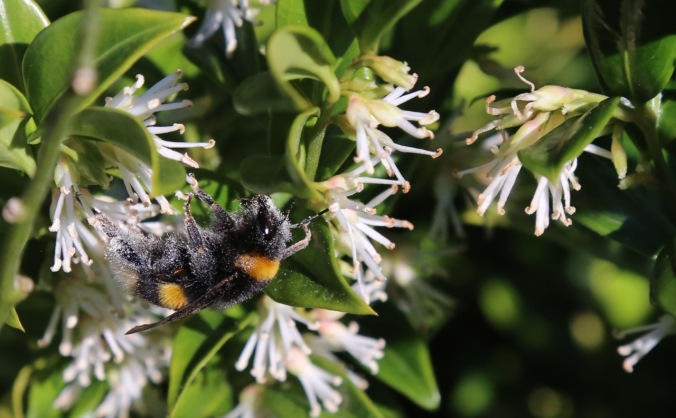 Queen Bee on Sarcoccoca