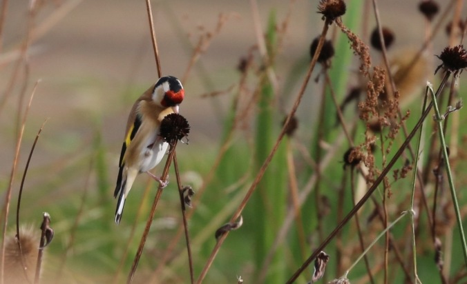 Goldfinch on Rudbeckia seed head