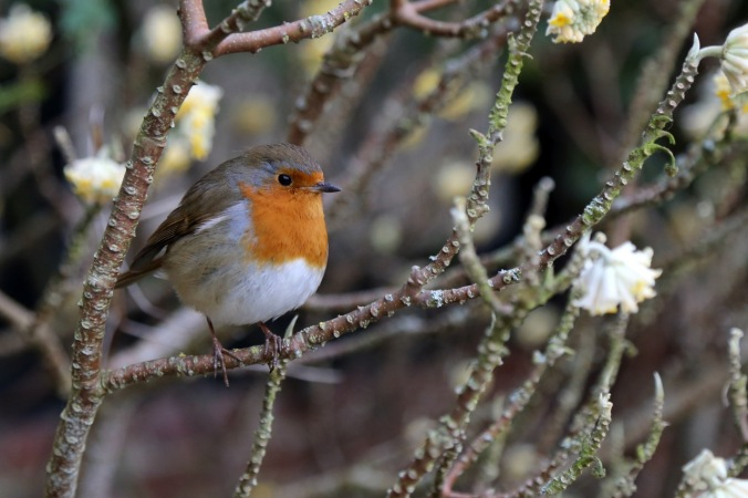 Robin on Edgeworthia chysantha in the RHS Wisley garden