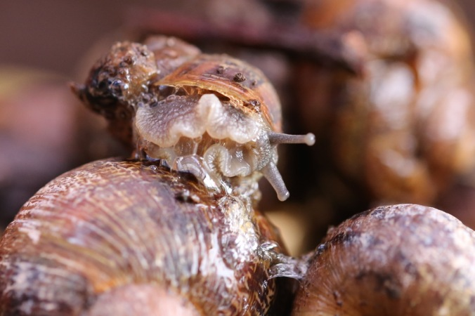 Common Garden Snail 'Foot'