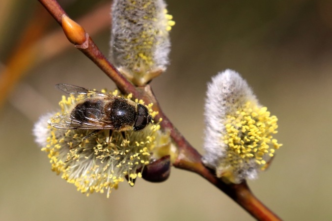 Salix caprea - Goat willow, Pussy Willow and Drone Fly