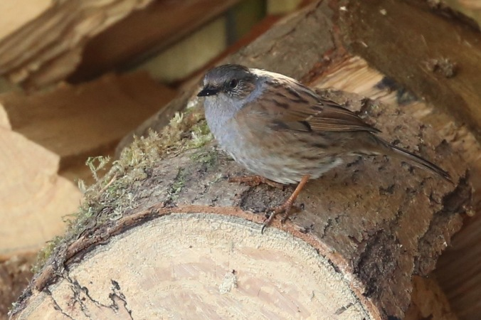 Dunnock in the woodstore