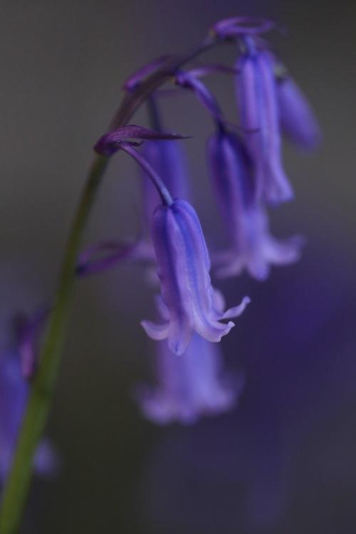 Native Bluebell- Hyacinthoides non-scripta