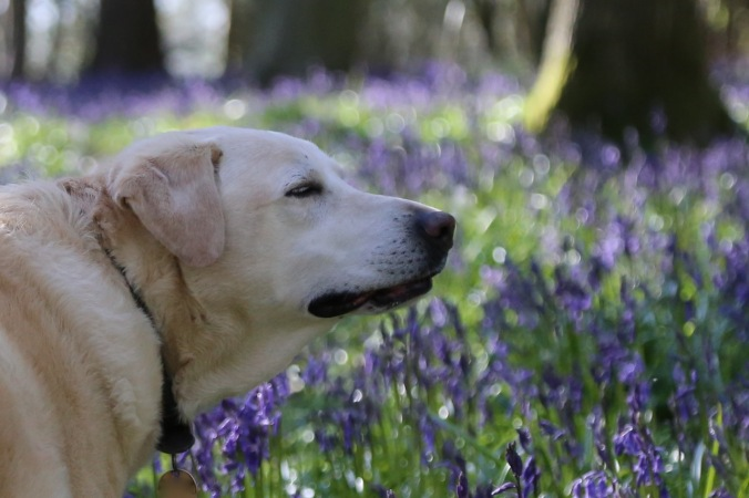 Archie, taking in the scent of Bluebells