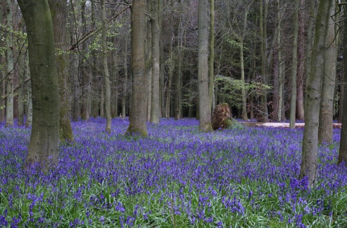 National Trust Ashridge Estate Native Bluebells