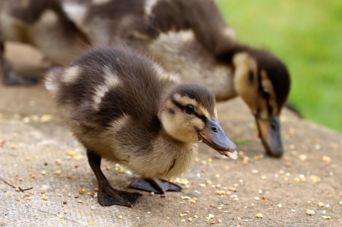 Duckling eating seed