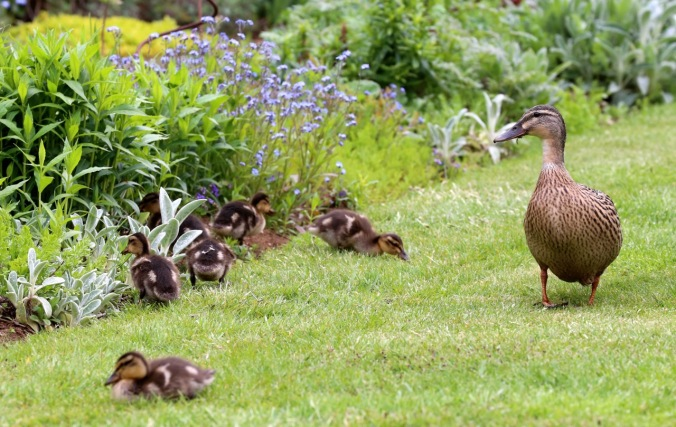 Mother Duck and Ducklings visit our garden