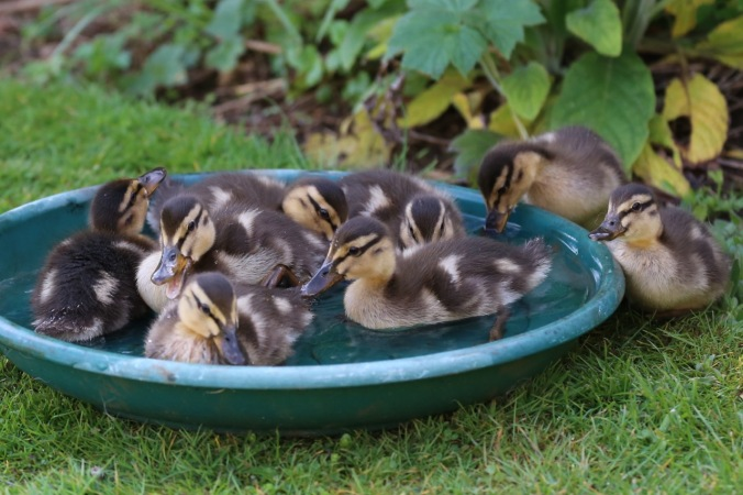 Ducklings in the makeshift water bowl