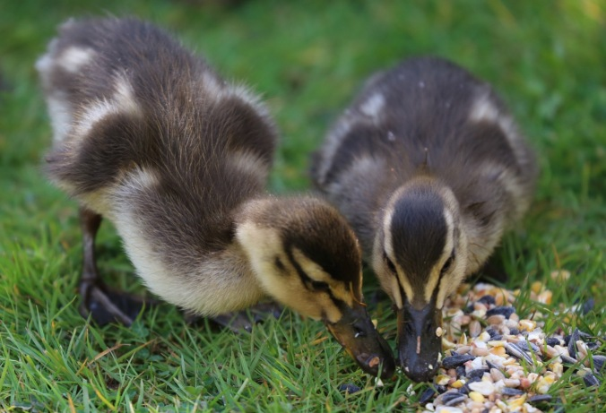 Ducklings eating bird seed