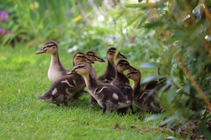 Ducklings looking for a safe place