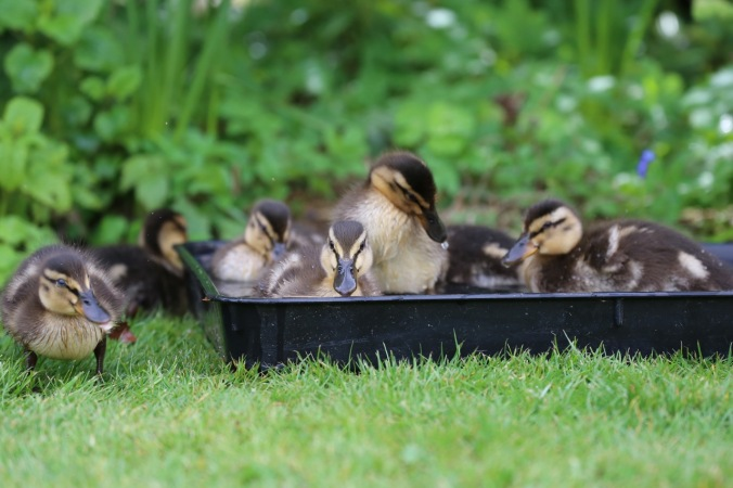Ducklings in the potting tray bath