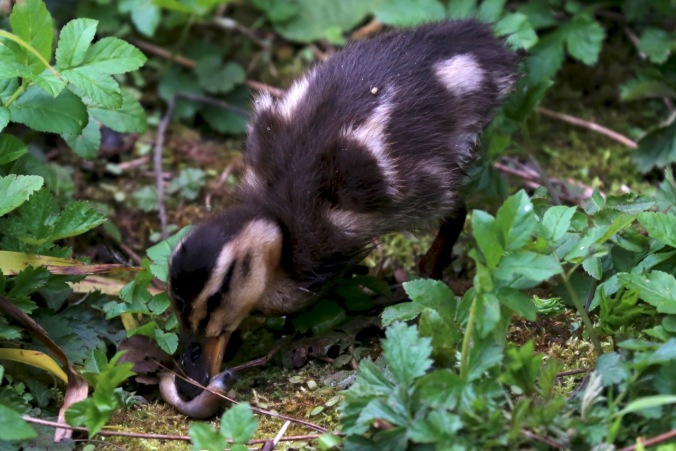 Duckling eating a slug