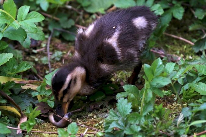 Duckling eating a slug
