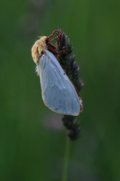 Male Ghost Moth