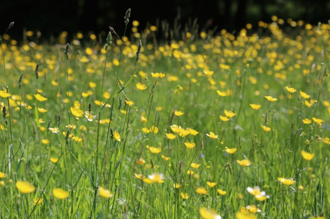 Meadow Buttercups - Hatfield Forest, Essex