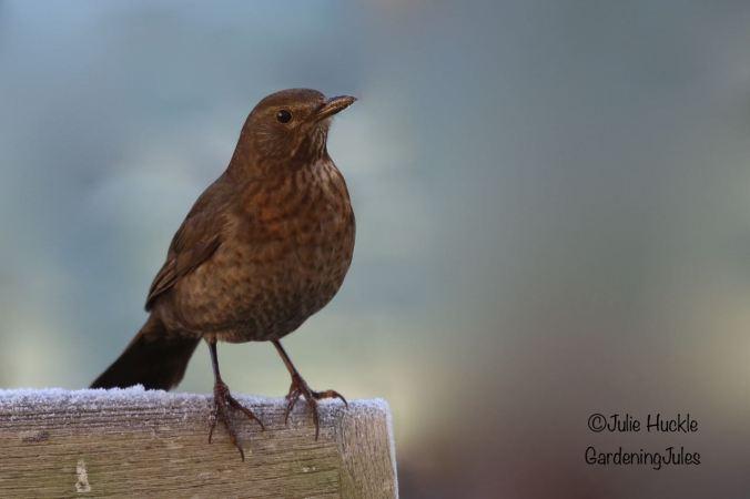 Female Black Bird