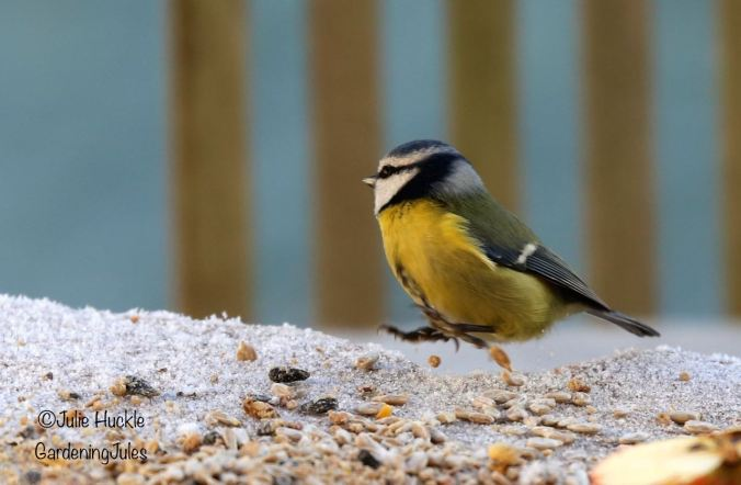 Blue Tit in a hurry