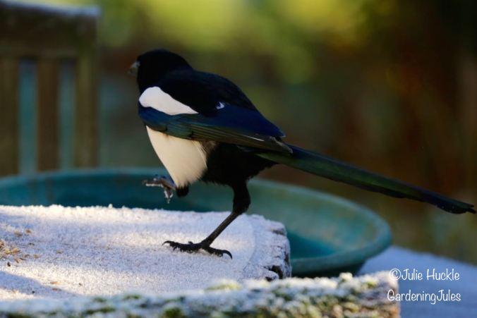 Scarpering Magpie